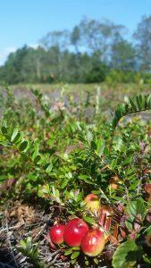 Ripening cranberries at Rocky Pond Bog at Myles Standish State Park (photo by Marlissa Briggett)