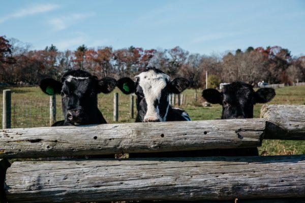 Dairy Farming on the South Coast